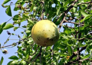 15 Amazing Health Benefits of Bael Fruit (Aegle Marmelos) 2